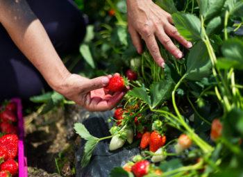 une personne cueille des fraises